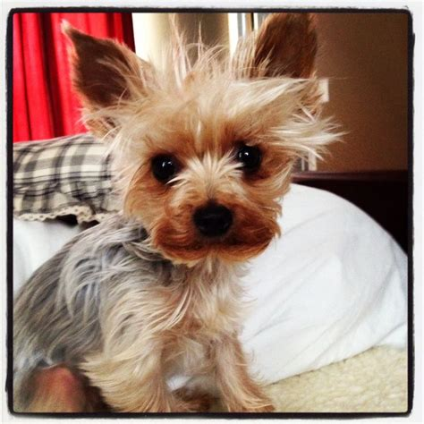 yorkie beds yorkie bed head my puppy pinterest