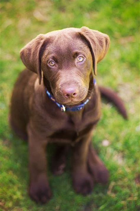 chocolate labrador puppy pin by natalie harmon on