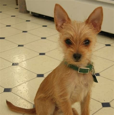 chorkie hair chorkie dog breed pictures 1