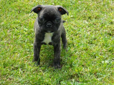 bugg puppies bugg breed www imgkid the image kid has it