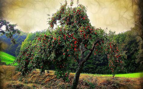 cherry tree mac os x 1440x900 cherry tree desktop pc and mac wallpaper