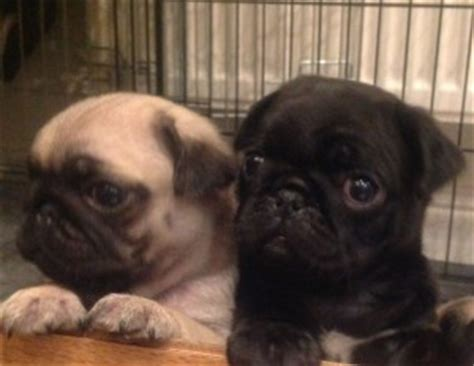 do black pugs shed less pugpugpug is it true that fawn colored pugs shed more then black ones