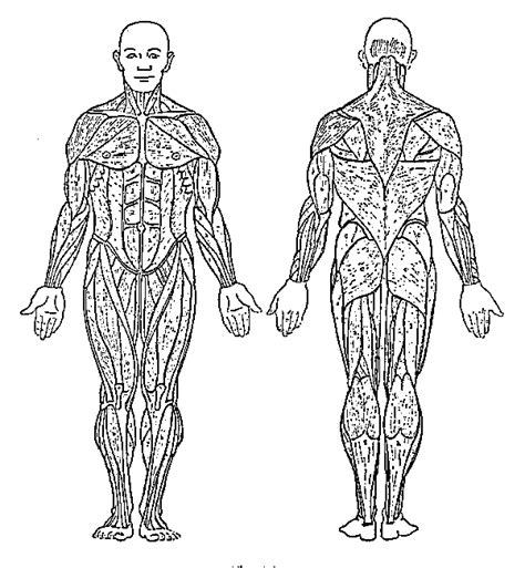 Muscles Human Body Coloring Pages Anatomy Coloring Pages Muscles