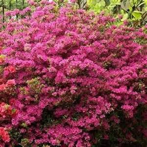 azal 233 e du japon amoena rhododendron hybride ps