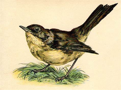 vintage clip art sweet nightingale bird the graphics fairy