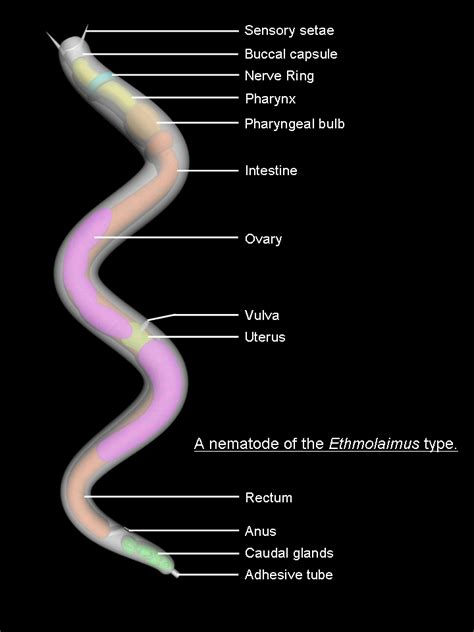 diagram of nematode nematode