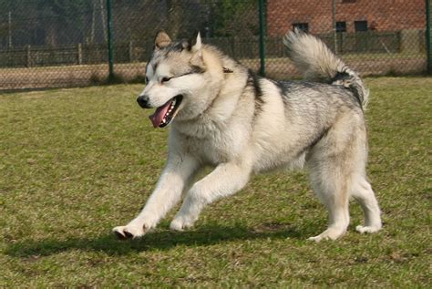 Alaskan Malamute On by Alaskan Malamute Facts And Photos The Wildlife