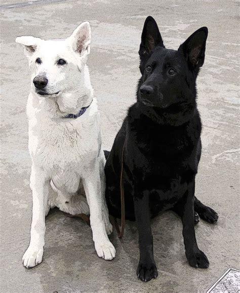 black and white german shepherd puppies black german shepherd for sale food german shepherds and black