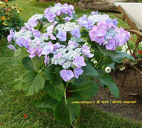 cura azalea in vaso azalea in vaso perde le foglie cool with azalea in vaso