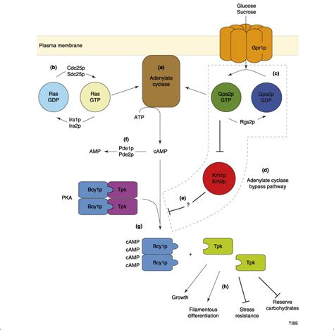 protein kinase a function directly from gα to protein kinase a the kelch repeat