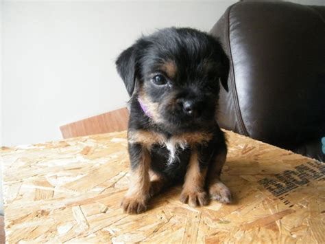 border terrier puppies for sale border terrier puppies for sale images