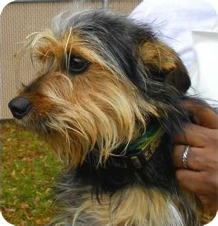 fox terrier yorkie mix fox terrier yorkie mix dogs in our photo