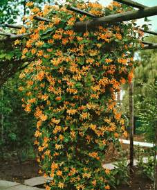17 best ideas about climbing flowering vines on pinterest flower vines vines and trellis