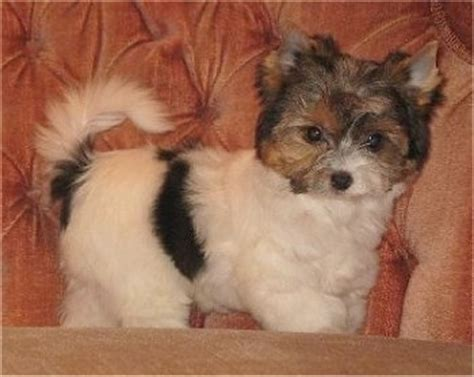 biewer vs yorkie biewer terrier breed pictures 1