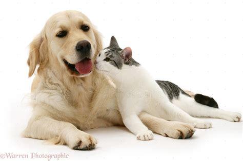golden retriever and cat pets cat and golden retriever photo wp22478