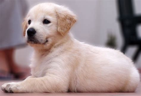 golden retriever puppy and baby golden retriever puppy animals baby animals dogs golden retriever golden