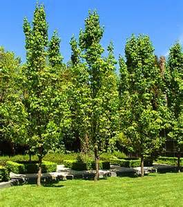 Formal Cottage Garden - capital ornamental pear hello hello plants amp garden supplies