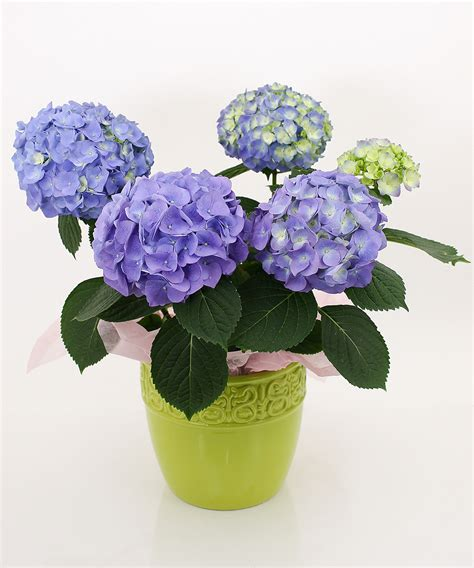 Easter Flowers by Freshest Easter Flowers Locally Grown Hydrangea Lilies