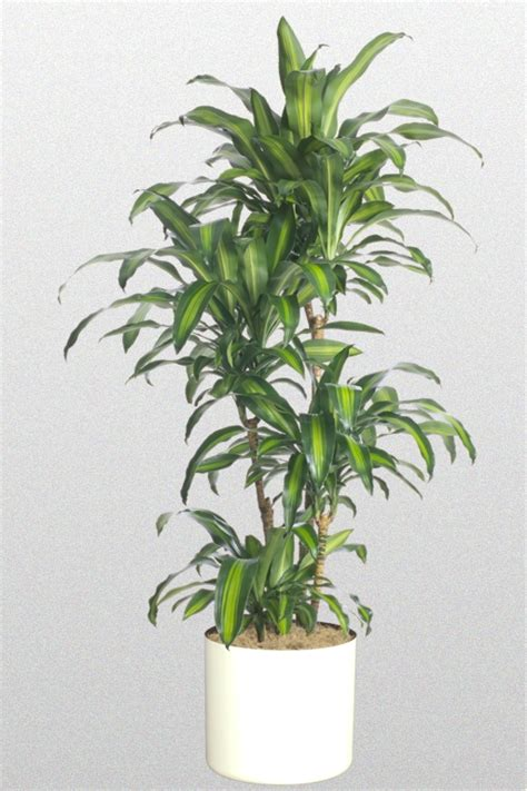 dracaena fragrans 14 in dracaena fragrans massangeana