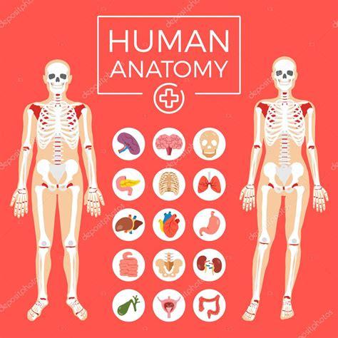 organi interni anatomia umana uomo e donna corpo sistema scheletrico