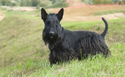 black breeds 10 breeds of with wonderful black coats pets4homes