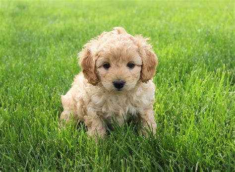 cockapoo puppies for sale in nc beautiful charming cockapoo puppies craigspets