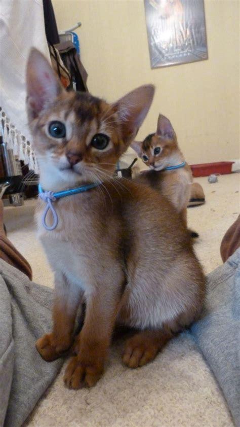 abyssinian kittens for sale lovely pedigree abyssinian kittens stoke on trent