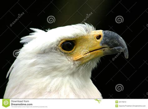 Headed Eagle white headed eagle www imgkid the image kid has it