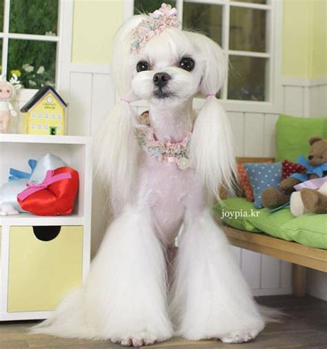 joypia yorkshire haircuts maltese groomed by mina choi of joypia wonder if these