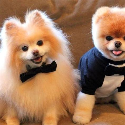 traditional cut traditional pomeranian cut compared to a teddy cut