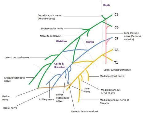 brachial plexus diagram brachial plexus anatomy