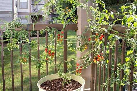 Growing Tomatoes In Planters by How To Grow Tomatoes In Pots Bonnie Plants