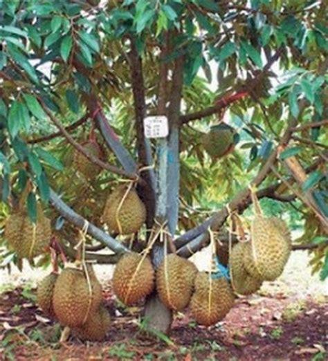 Harga Bibit Durian Bawor 2015 tanaman durian bawor kaki tiga 60 80 cm bibitbunga