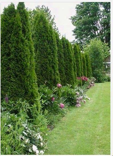 Arborvitae Patio Arborvitae Trees With Peonies Garden And Patio