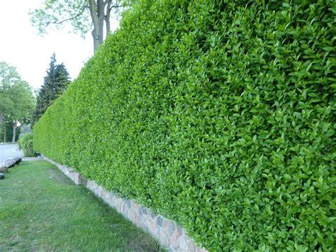 pflanzen immergrün winterhart liguster immergr 252 n winterhart infos dazu