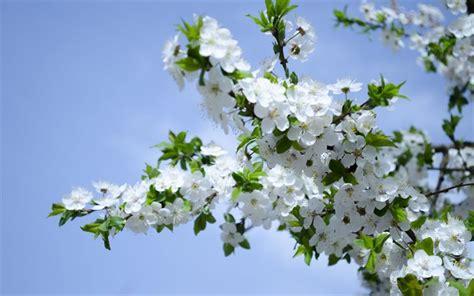 sfondi fiori di ciliegio scarica sfondi fiori di ciliegio primavera per desktop