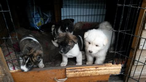 american akita puppies for sale american akita puppies for sale bradford west pets4homes