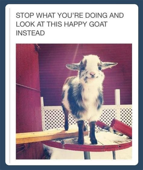 Happy Goat Meme - 162 best all things goats images on pinterest animales