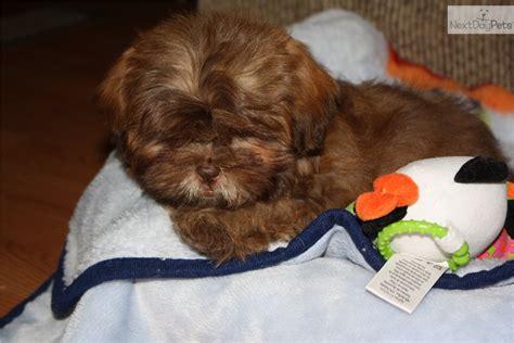 liver nose shih tzu for sale shih tzu puppy for sale near southeast missouri missouri e6f4fa96 7c71
