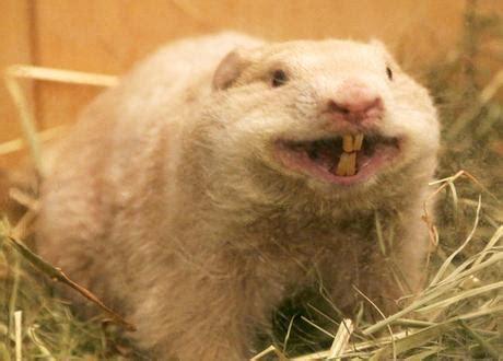 groundhog day ontario le jour de la marmotte 192 d 233 couvrir