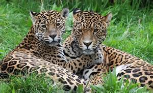 Jaguar Rainforest Facts Forest Animals Www Pixshark Images
