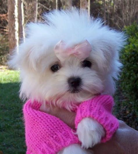 teacup maltese puppy puppy dogs teacup maltese puppies