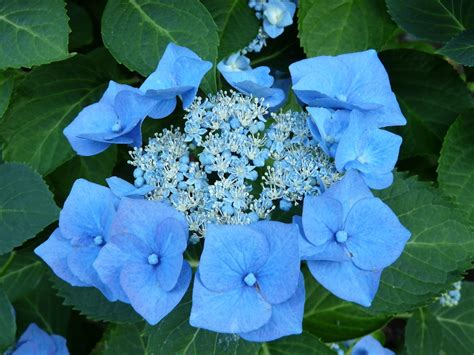 pruning hydrangeas cultivate garden gift