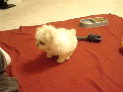 half maltese half shih tzu for sale my half maltese half shih tzu puppy 8 weeks