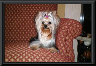 blumoon yorkies yorkie puppies for sale akc blumoon yorkies yorkie puppies view yorky puppies yorkie