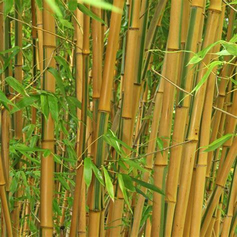 bambus krankheiten bambus pflanzen pflege und tipps mein sch 246 ner garten