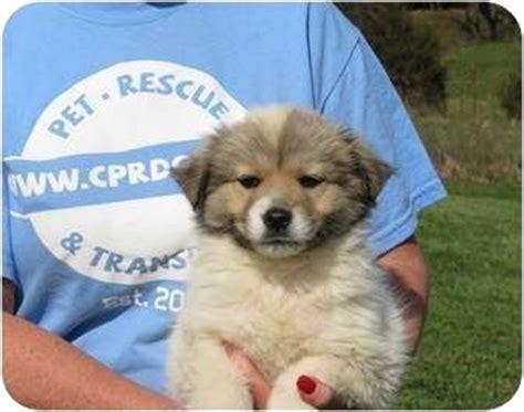 australian shepherd golden retriever puppies treasure adopted puppy westbrook ct australian shepherd golden retriever mix