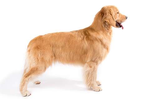 golden retriever akc golden retriever and assistedlivingcares