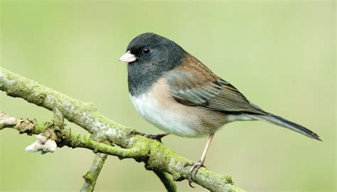 juncos wild birds unlimited wild birds unlimited