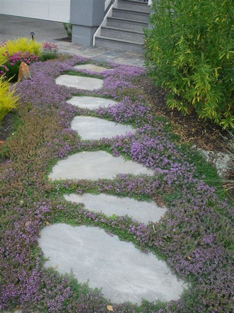 creeping thyme ground cover sweet     mulch